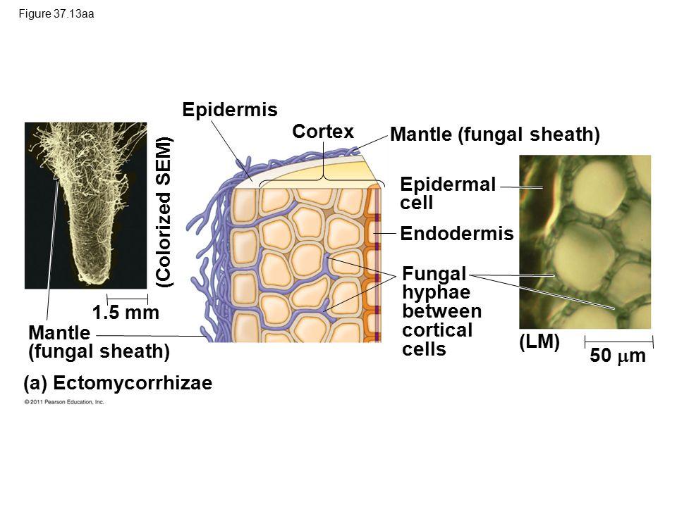 Figure 37.13aa Epidermis Cortex Mantle (fungal sheath) Epidermal cell Endodermis Fungal hyphae between cortical cells (Colorized SEM) 1.5 mm (LM) 50  m Mantle (fungal sheath) (a) Ectomycorrhizae