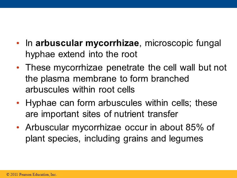 In arbuscular mycorrhizae, microscopic fungal hyphae extend into the root These mycorrhizae penetrate the cell wall but not the plasma membrane to for
