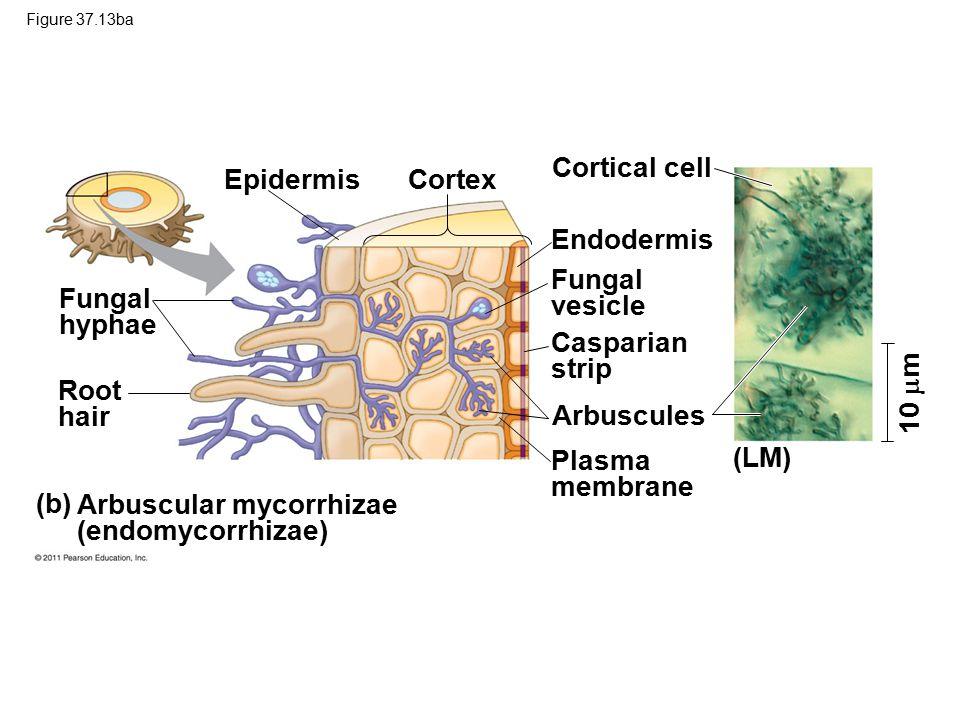 Figure 37.13ba 10  m Epidermis Cortex Endodermis Cortical cell Fungal vesicle Casparian strip Arbuscules Plasma membrane (LM) Fungal hyphae Root hair (b) Arbuscular mycorrhizae (endomycorrhizae)