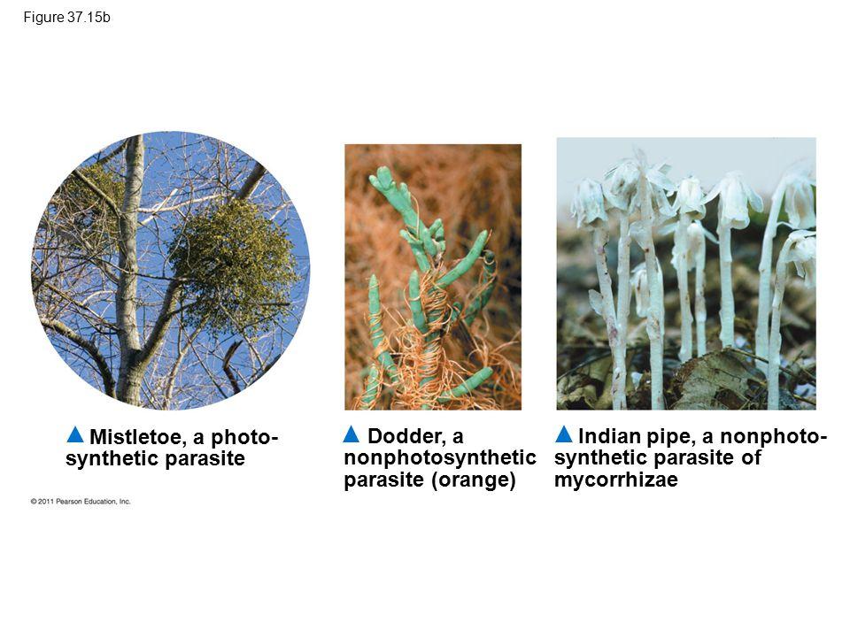 Figure 37.15b Mistletoe, a photo- synthetic parasite Dodder, a nonphotosynthetic parasite (orange) Indian pipe, a nonphoto- synthetic parasite of mycorrhizae