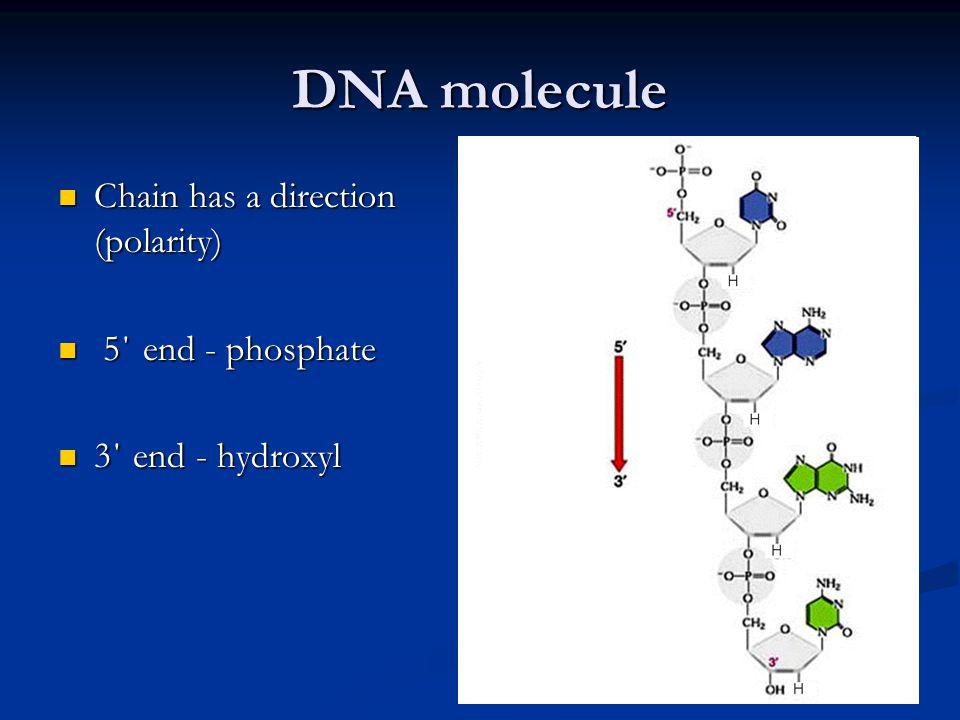 DNA molecule Chain has a direction (polarity) Chain has a direction (polarity) 5΄ end - phosphate 5΄ end - phosphate 3΄ end - hydroxyl 3΄ end - hydrox