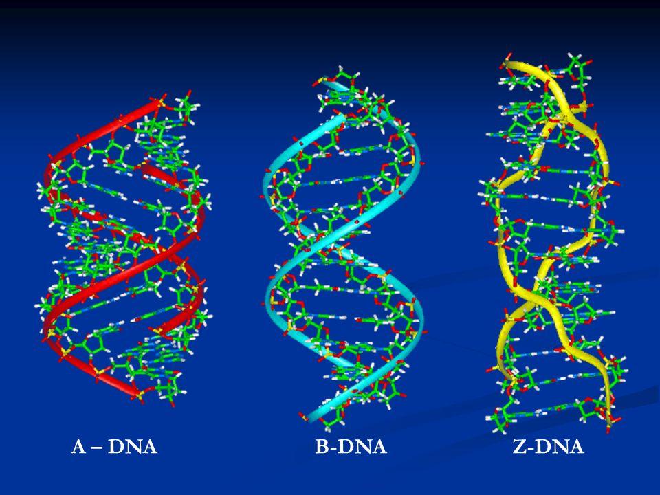 A – DNAB-DNAZ-DNA