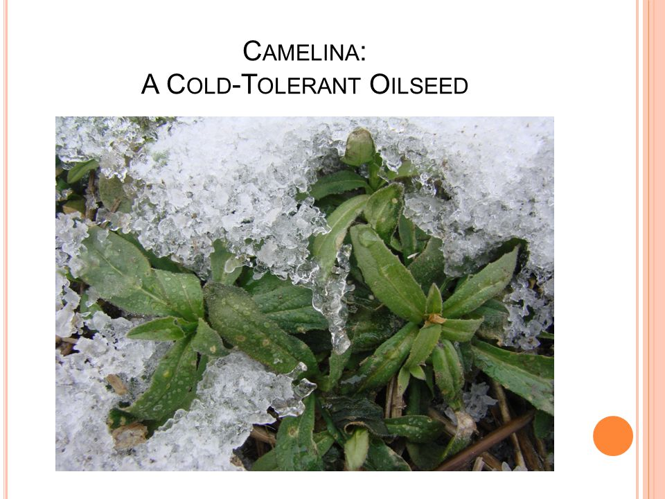 C AMELINA : A C OLD -T OLERANT O ILSEED