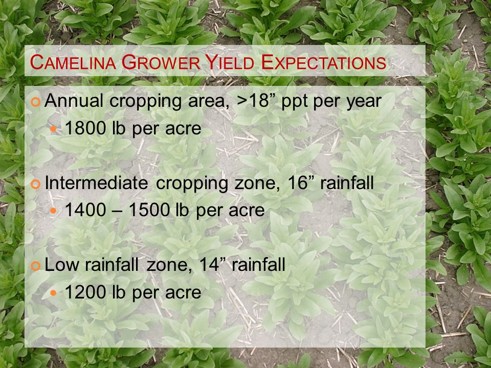 C AMELINA G ROWER Y IELD E XPECTATIONS Annual cropping area, >18 ppt per year 1800 lb per acre Intermediate cropping zone, 16 rainfall 1400 – 1500 lb per acre Low rainfall zone, 14 rainfall 1200 lb per acre