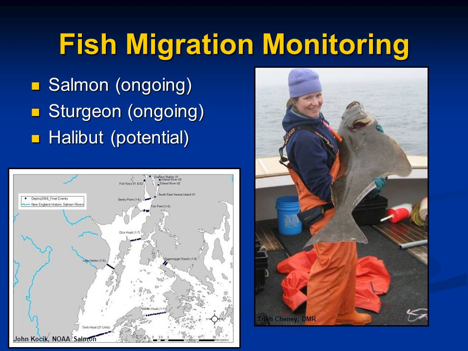 Fish Migration Monitoring Salmon (ongoing) Salmon (ongoing) Sturgeon (ongoing) Sturgeon (ongoing) Halibut (potential) Halibut (potential) John Kocik, NOAA Salmon Trish Cheney, DMR