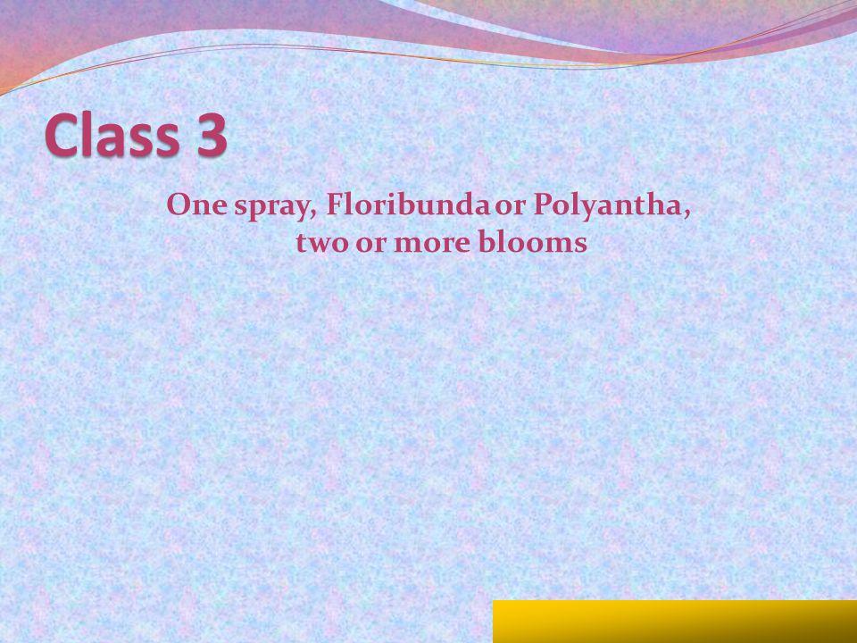Class 3 One spray, Floribunda or Polyantha, two or more blooms