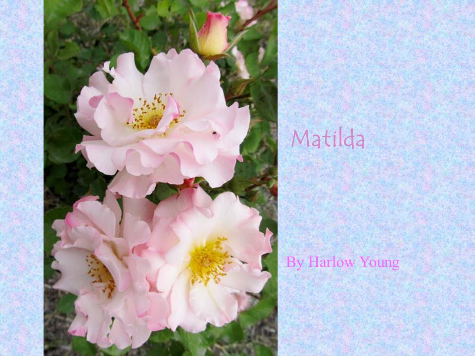 Matilda By Harlow Young
