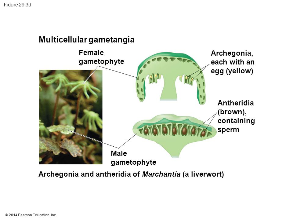 © 2014 Pearson Education, Inc. Figure 29.3d Multicellular gametangia Female gametophyte Archegonia, each with an egg (yellow) Antheridia (brown), cont