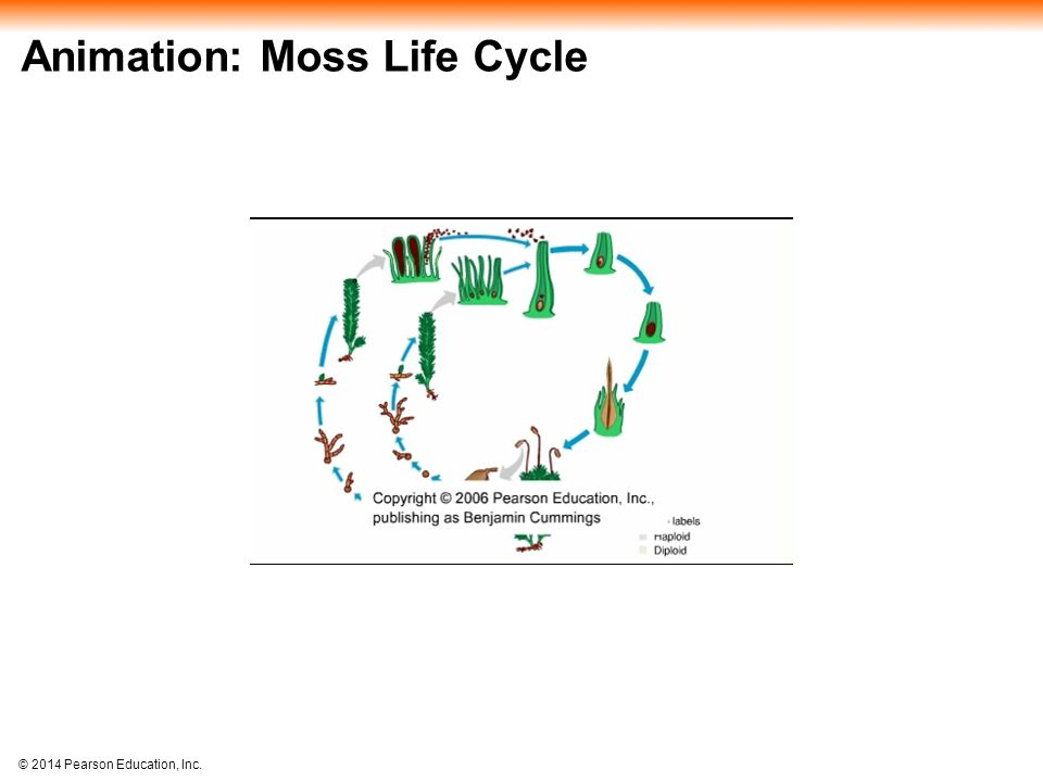 © 2014 Pearson Education, Inc. Animation: Moss Life Cycle