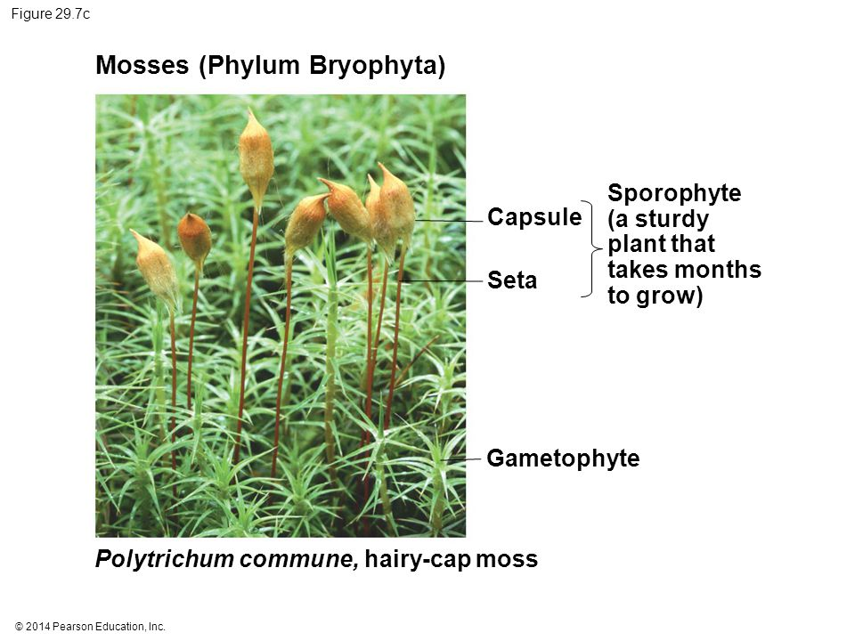 © 2014 Pearson Education, Inc. Figure 29.7c Mosses (Phylum Bryophyta) Capsule Seta Gametophyte Sporophyte (a sturdy plant that takes months to grow) P
