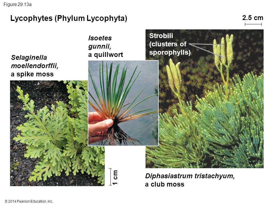 © 2014 Pearson Education, Inc. Figure 29.13a Lycophytes (Phylum Lycophyta) Isoetes gunnii, a quillwort Selaginella moellendorffii, a spike moss Diphas