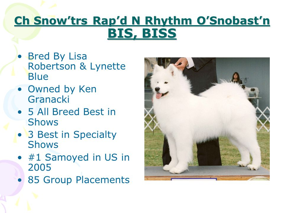 Ch Snow'trs Rap'd N Rhythm O'Snobast'n BIS, BISS Bred By Lisa Robertson & Lynette Blue Owned by Ken Granacki 5 All Breed Best in Shows 3 Best in Speci