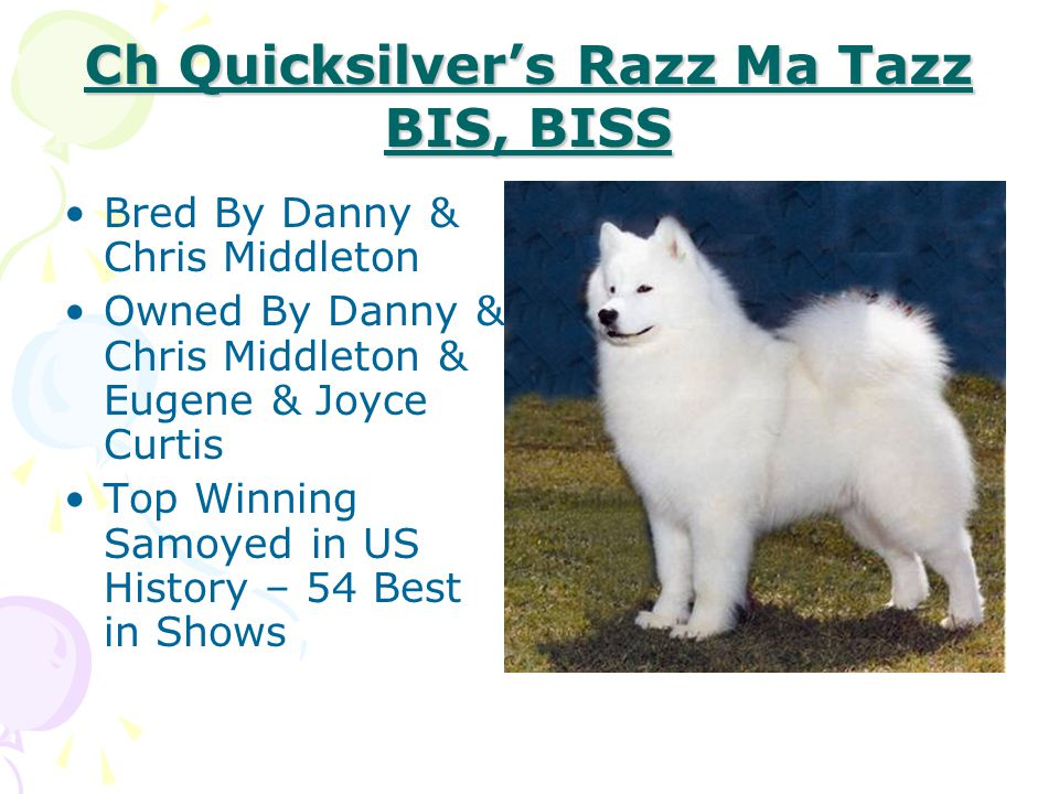 Ch Quicksilver's Razz Ma Tazz BIS, BISS Bred By Danny & Chris Middleton Owned By Danny & Chris Middleton & Eugene & Joyce Curtis Top Winning Samoyed i
