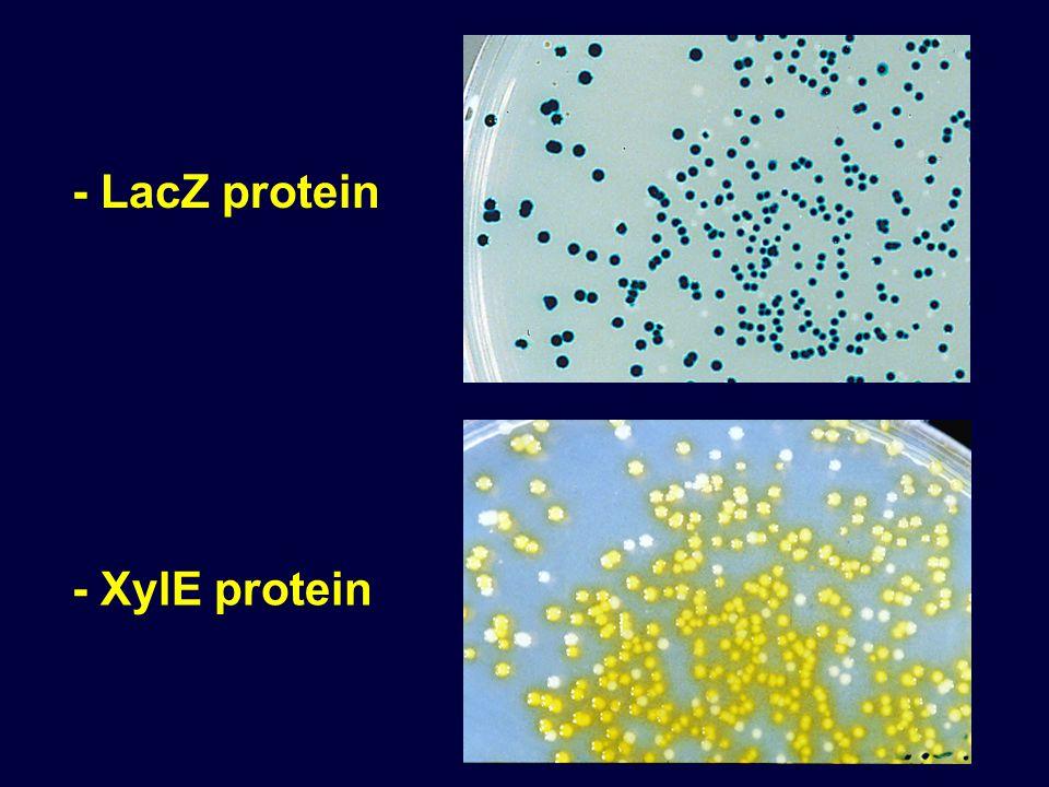- LacZ protein - XylE protein