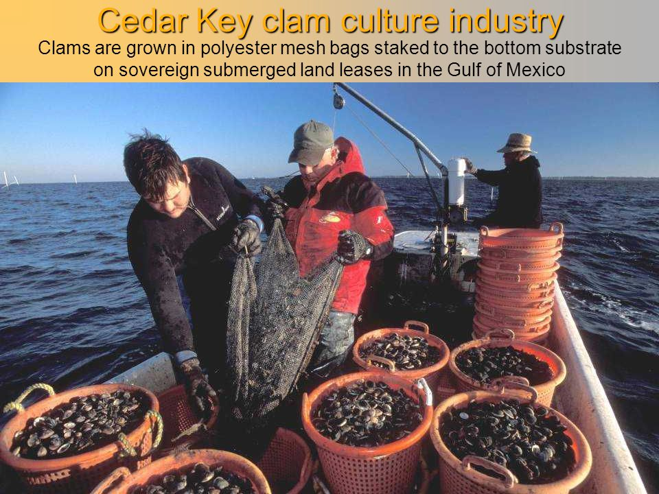 Cedar Key clam culture industry Clams are grown in polyester mesh bags staked to the bottom substrate on sovereign submerged land leases in the Gulf o