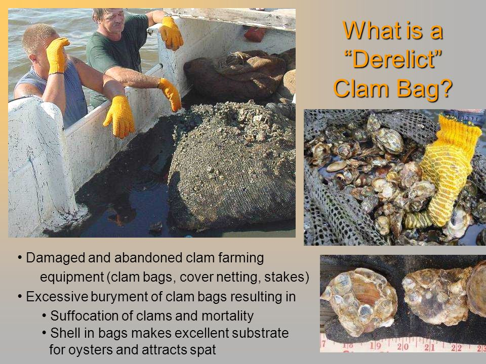 """What is a """"Derelict"""" Clam Bag? Damaged and abandoned clam farming equipment (clam bags, cover netting, stakes) Excessive buryment of clam bags resulti"""