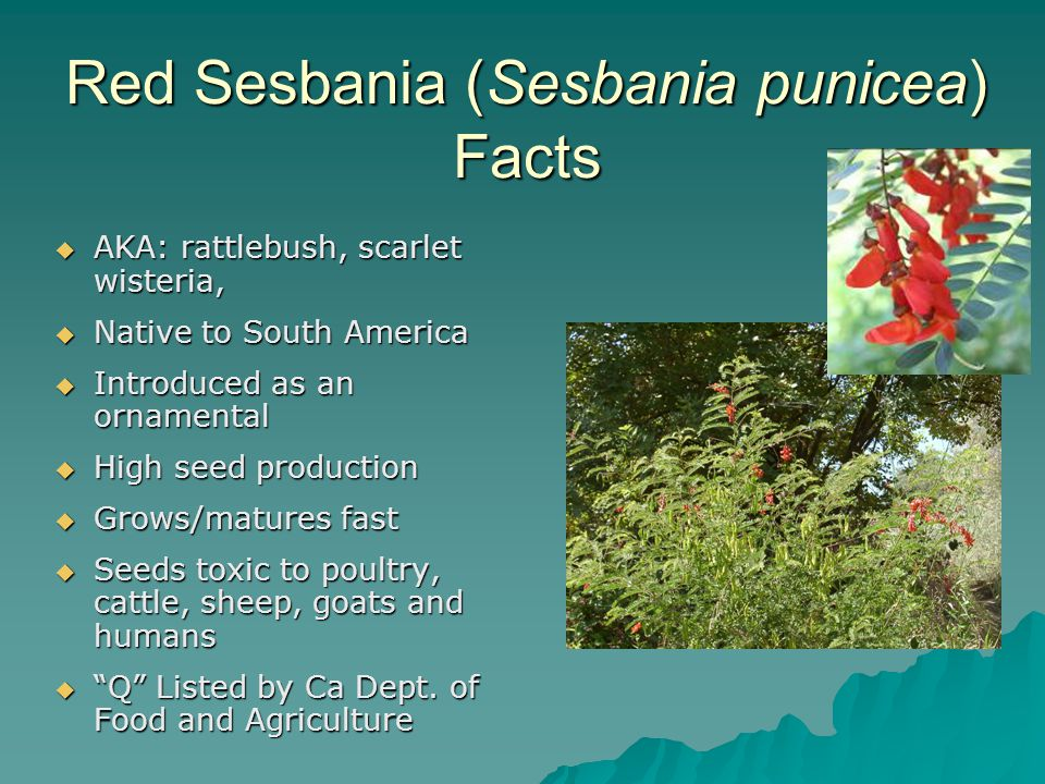 Red Sesbania (Sesbania punicea) Facts  AKA: rattlebush, scarlet wisteria,  Native to South America  Introduced as an ornamental  High seed product