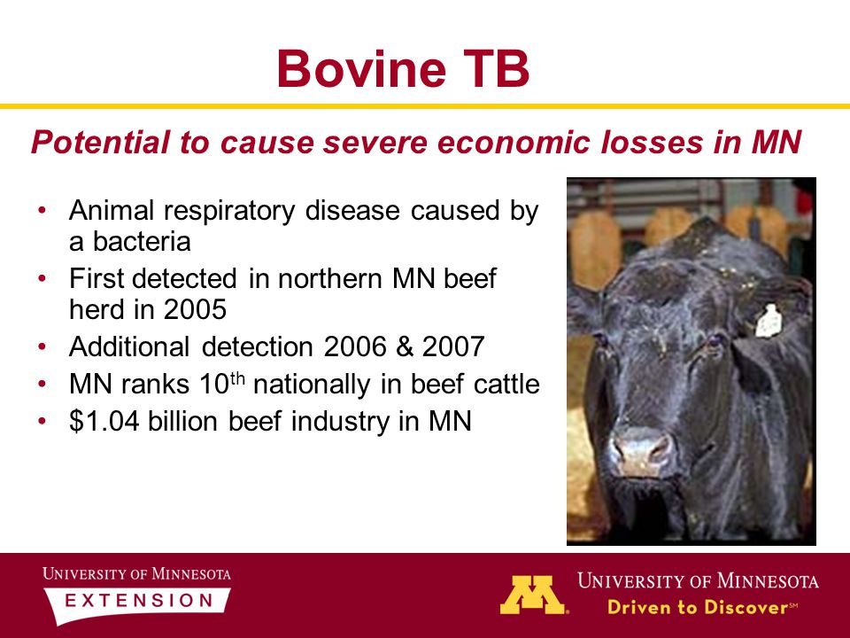 Bovine TB Animal respiratory disease caused by a bacteria First detected in northern MN beef herd in 2005 Additional detection 2006 & 2007 MN ranks 10