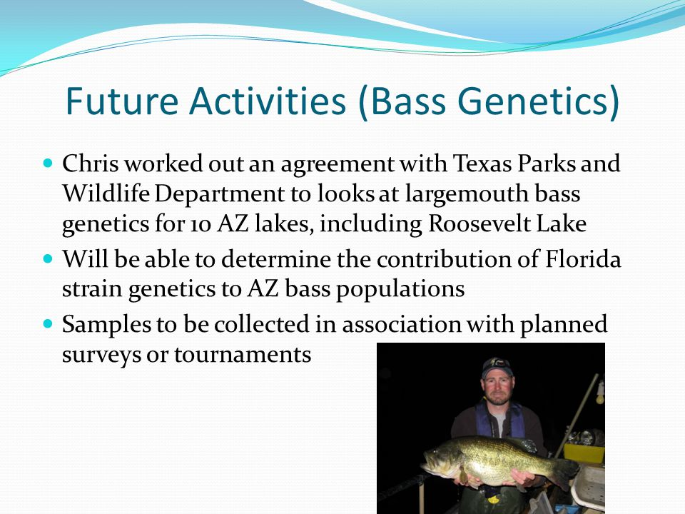Future Activities (Bass Genetics) Chris worked out an agreement with Texas Parks and Wildlife Department to looks at largemouth bass genetics for 10 AZ lakes, including Roosevelt Lake Will be able to determine the contribution of Florida strain genetics to AZ bass populations Samples to be collected in association with planned surveys or tournaments