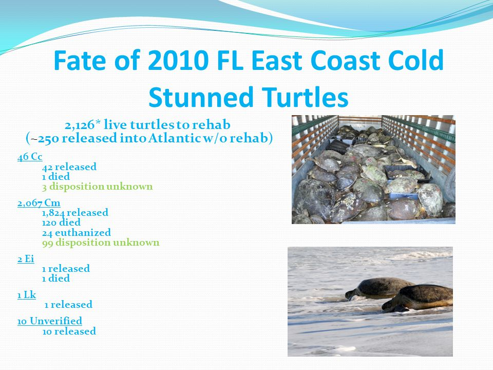 2,126* live turtles to rehab (~250 released into Atlantic w/o rehab) 42 Cc 2 recapture records (Both originally from Mosquito Lagoon) 1782 Cm 100 recapture records 1 Ei No recapture records 1 Lk No recapture records *10 unverified species Recaptures of 2010 FL East Coast Cold Stun Turtles