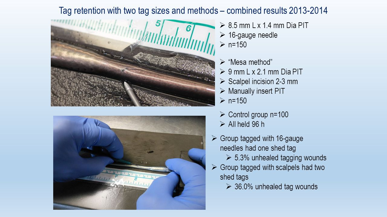  8.5 mm L x 1.4 mm Dia PIT  16-gauge needle  n=150 Tag retention with two tag sizes and methods – combined results 2013-2014  Mesa method  9 mm L x 2.1 mm Dia PIT  Scalpel incision 2-3 mm  Manually insert PIT  n=150  Control group n=100  All held 96 h  Group tagged with 16-gauge needles had one shed tag  5.3% unhealed tagging wounds  Group tagged with scalpels had two shed tags  36.0% unhealed tag wounds