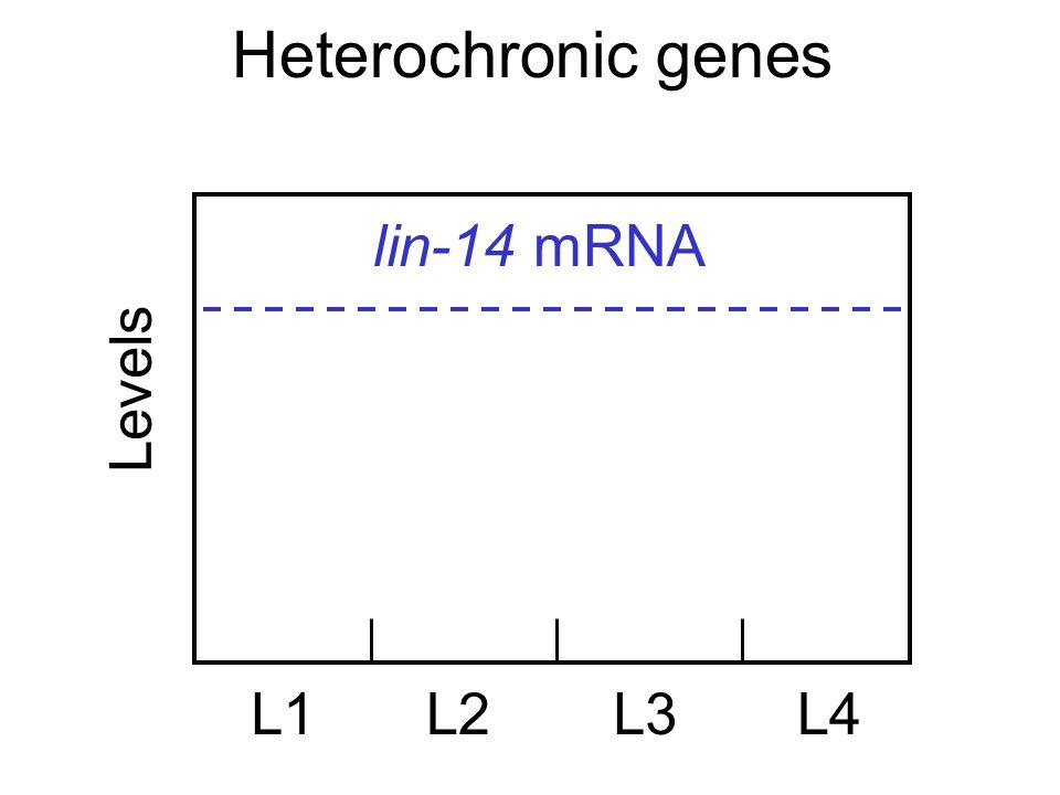 Heterochronic genes Levels L1L2L3L4 lin-14 mRNA