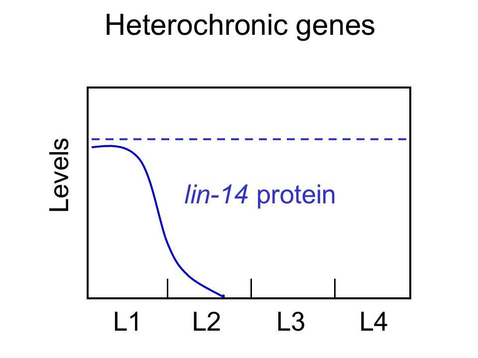 Heterochronic genes Levels L1L2L3L4 lin-14 protein