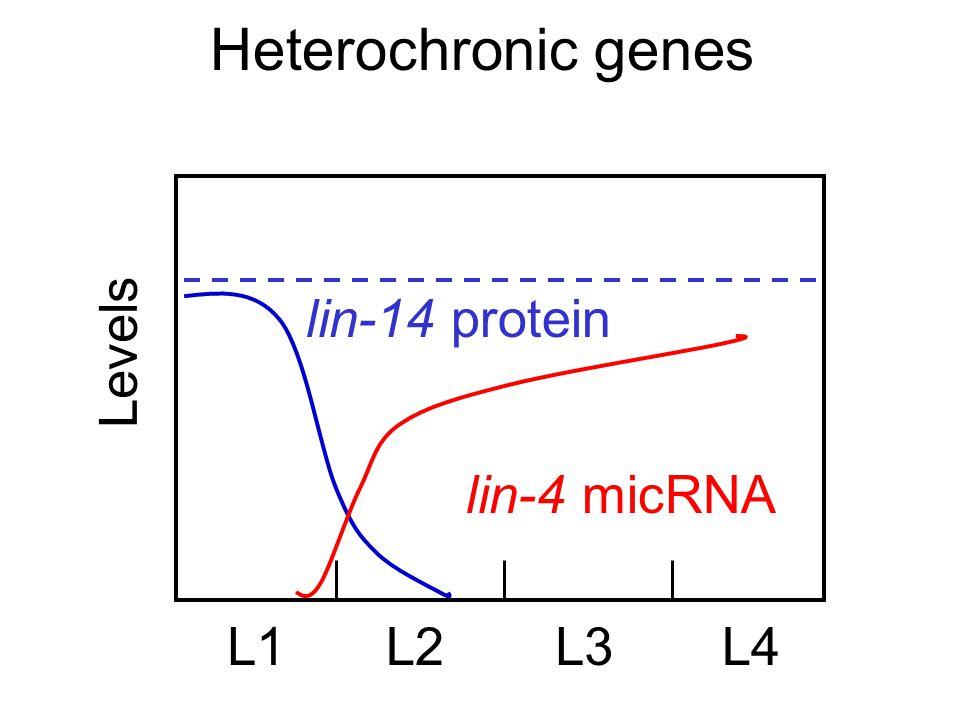 Heterochronic genes Levels L1L2L3L4 lin-14 protein lin-4 micRNA