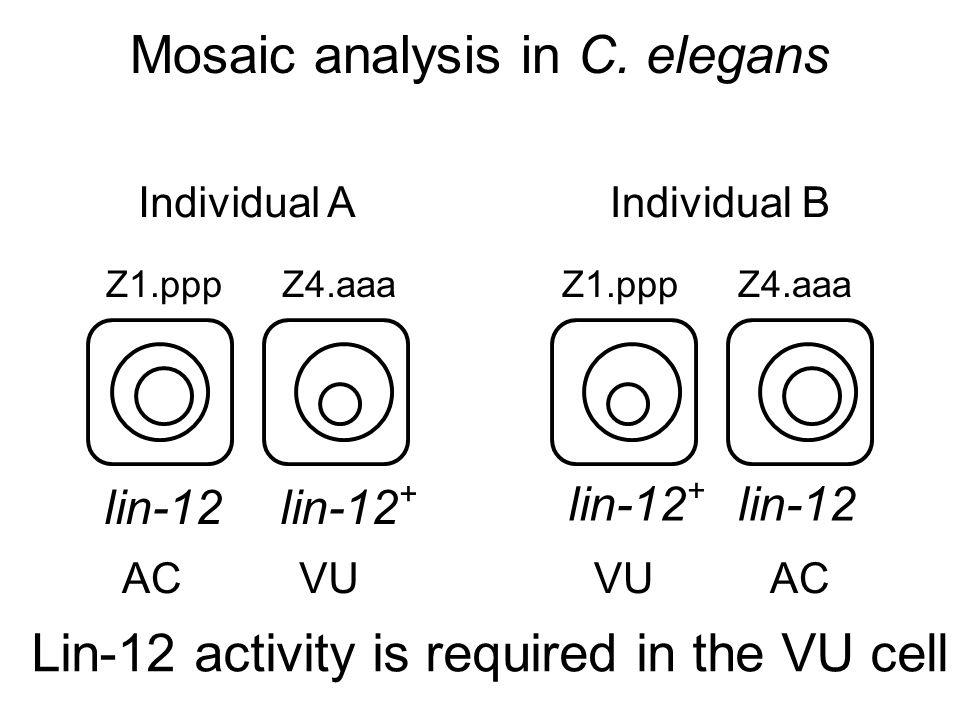 Z1.ppp Z4.aaa Individual AIndividual B AC VU lin-12 + lin-12 Mosaic analysis in C.