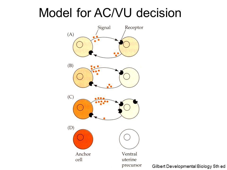 Model for AC/VU decision Gilbert Developmental Biology 5th ed