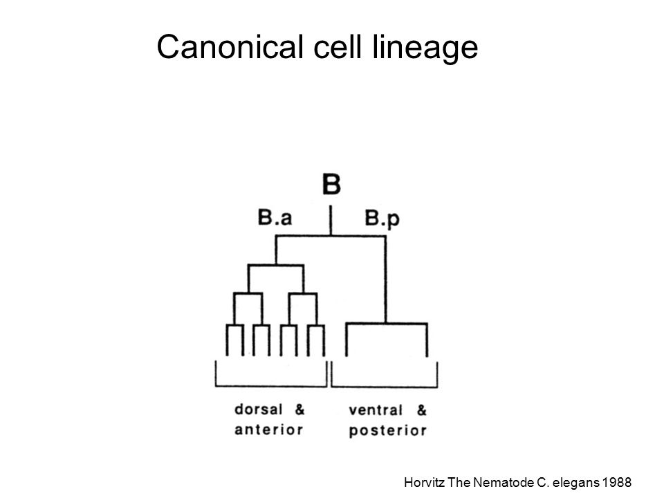 Canonical cell lineage Horvitz The Nematode C. elegans 1988