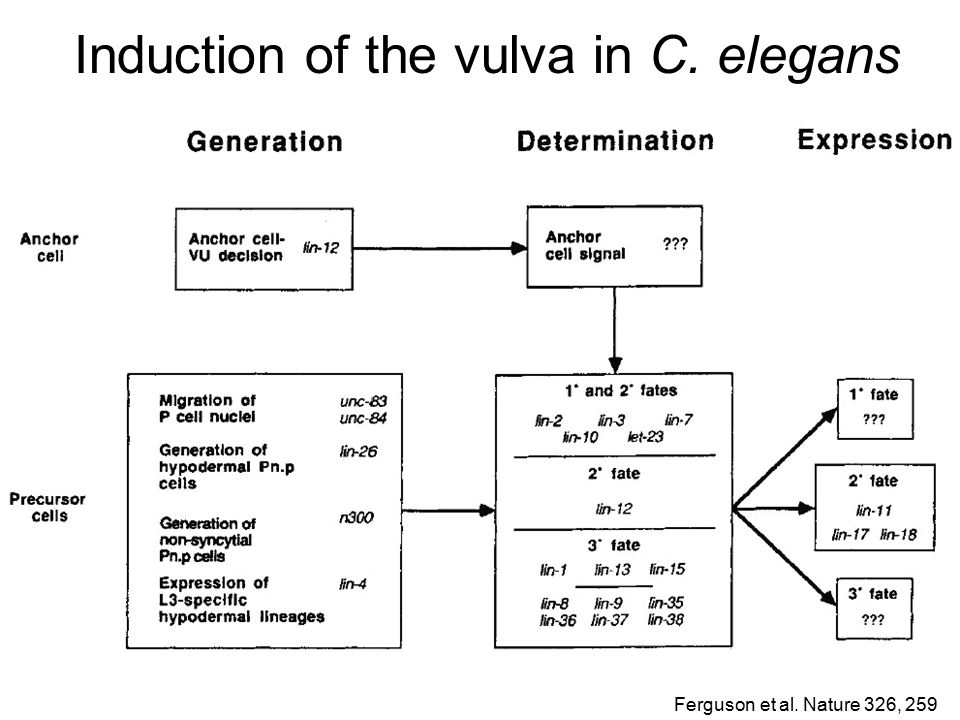 Induction of the vulva in C. elegans Ferguson et al. Nature 326, 259