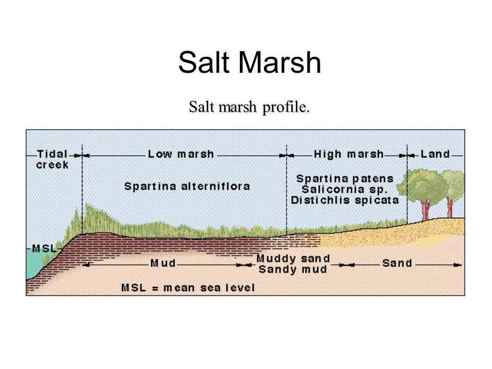 Salt Marsh Salt marsh profile.