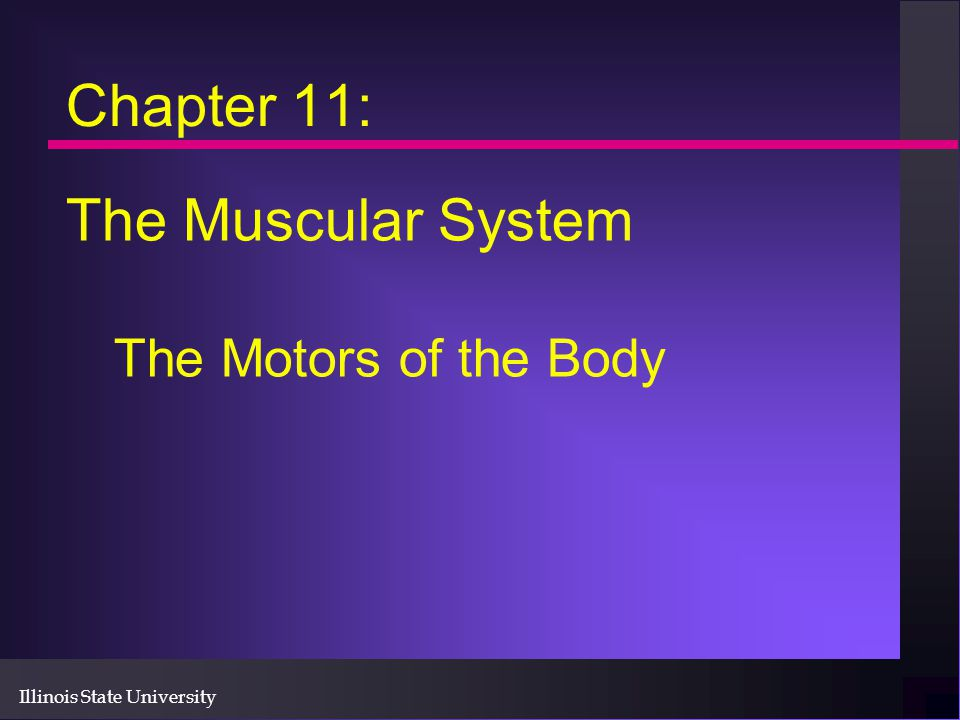 Illinois State University Chapter 11: The Muscular System The Motors of the Body