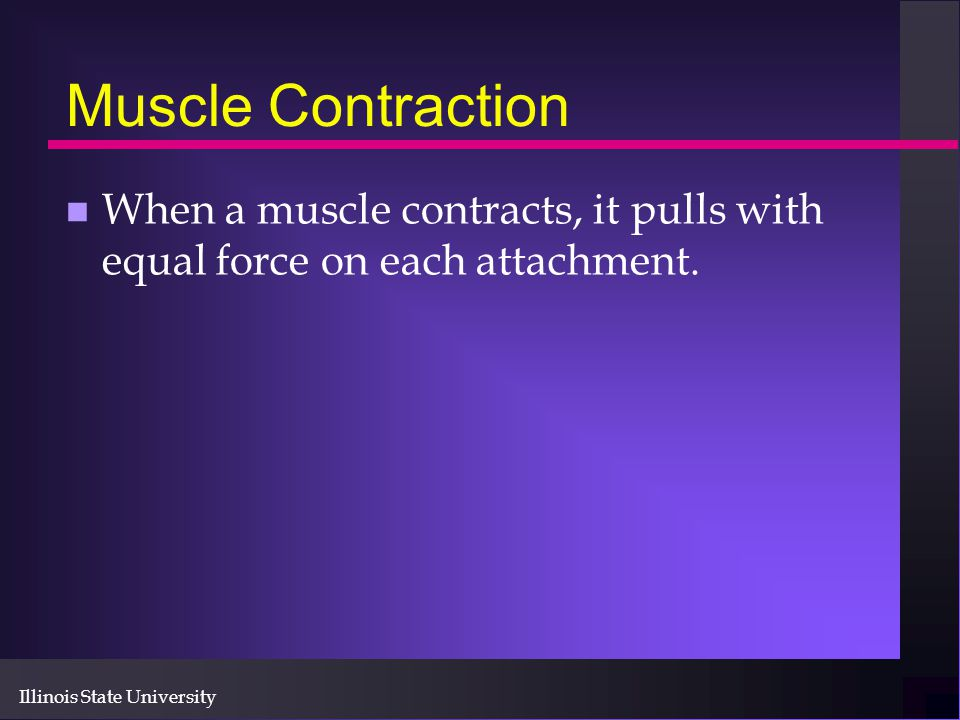 Illinois State University Muscle Contraction n When a muscle contracts, it pulls with equal force on each attachment.
