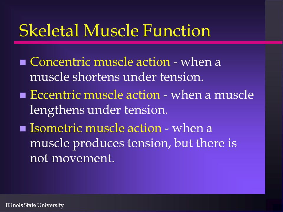 Illinois State University Skeletal Muscle Function n Concentric muscle action - when a muscle shortens under tension. n Eccentric muscle action - when