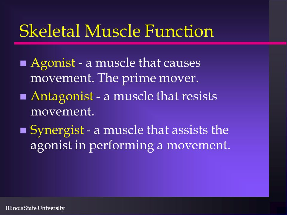Illinois State University Skeletal Muscle Function n Agonist - a muscle that causes movement. The prime mover. n Antagonist - a muscle that resists mo