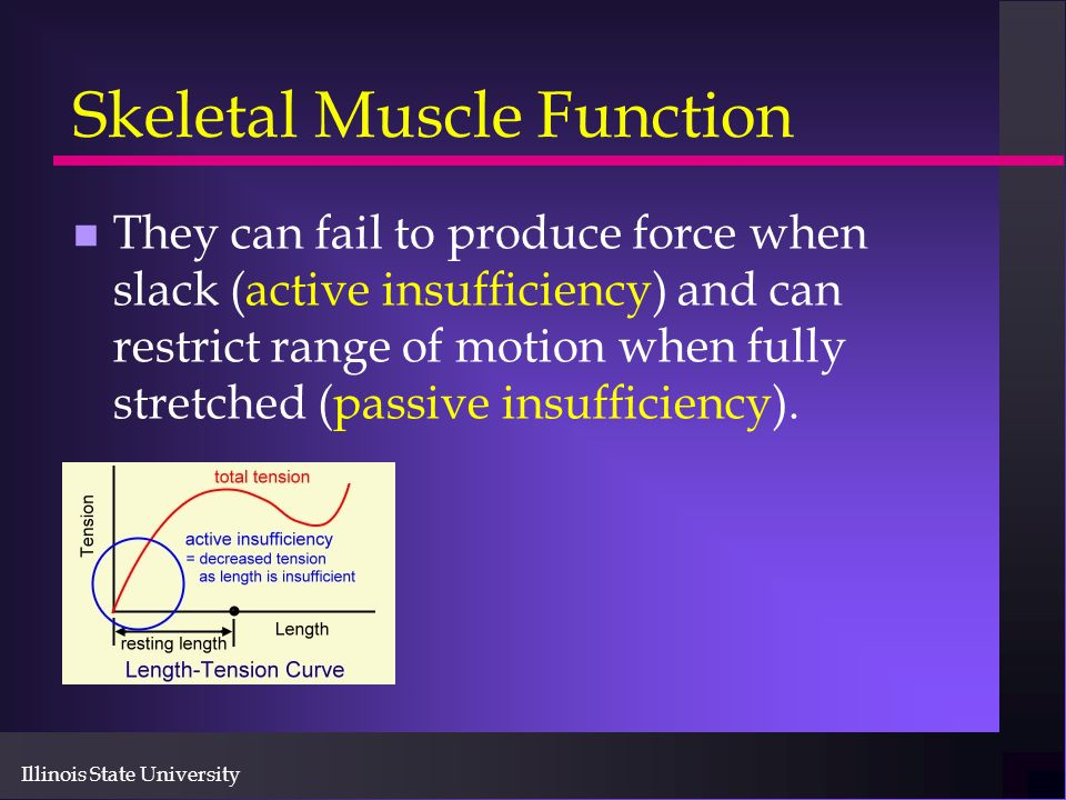 Illinois State University Skeletal Muscle Function n They can fail to produce force when slack (active insufficiency) and can restrict range of motion