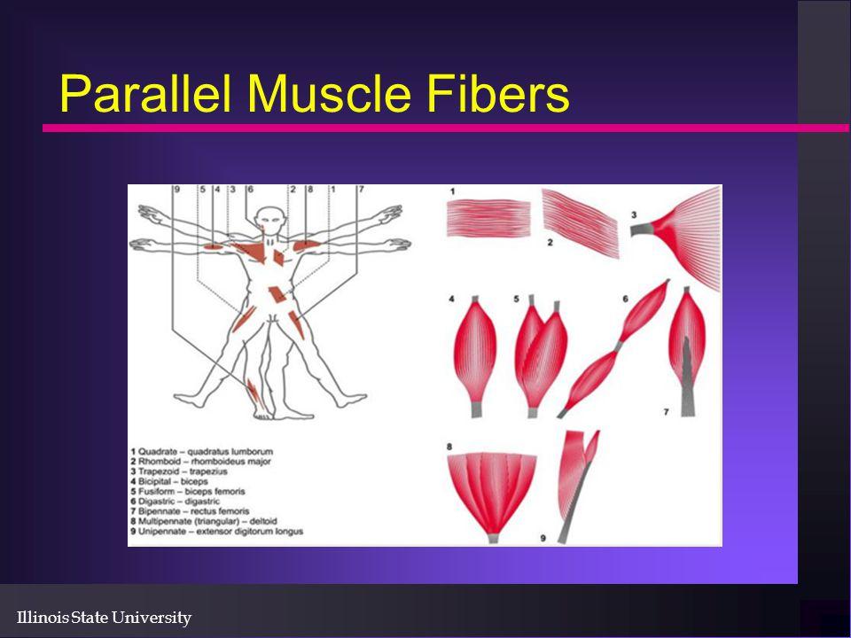 Illinois State University Parallel Muscle Fibers