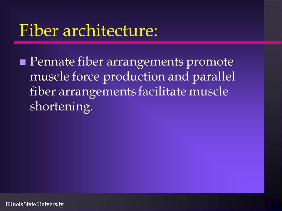 Illinois State University Fiber architecture: n Pennate fiber arrangements promote muscle force production and parallel fiber arrangements facilitate