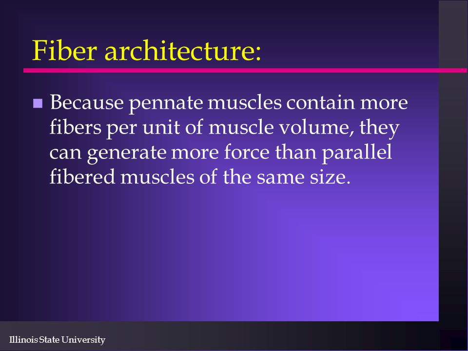 Illinois State University Fiber architecture: n Because pennate muscles contain more fibers per unit of muscle volume, they can generate more force th