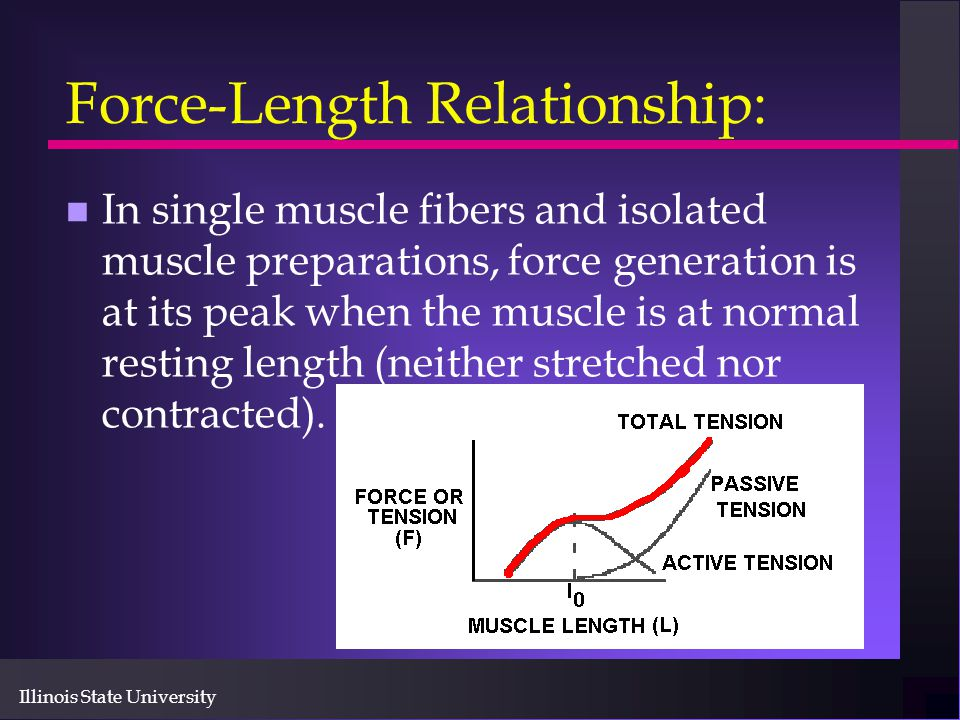 Illinois State University Force-Length Relationship: n In single muscle fibers and isolated muscle preparations, force generation is at its peak when