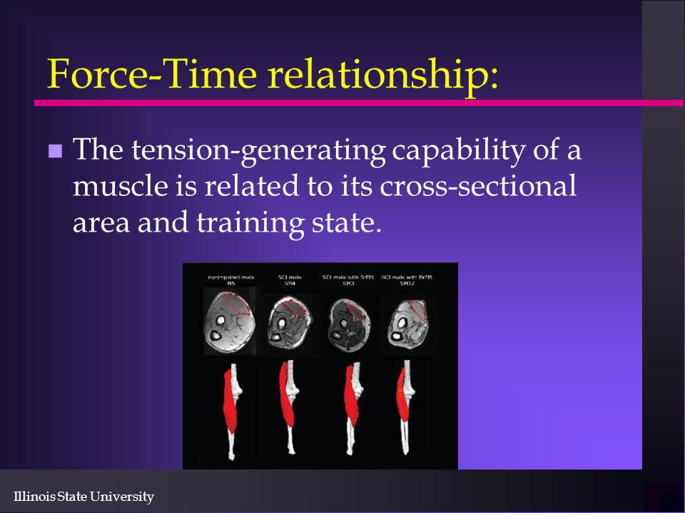 Illinois State University Force-Time relationship: n The tension-generating capability of a muscle is related to its cross-sectional area and training