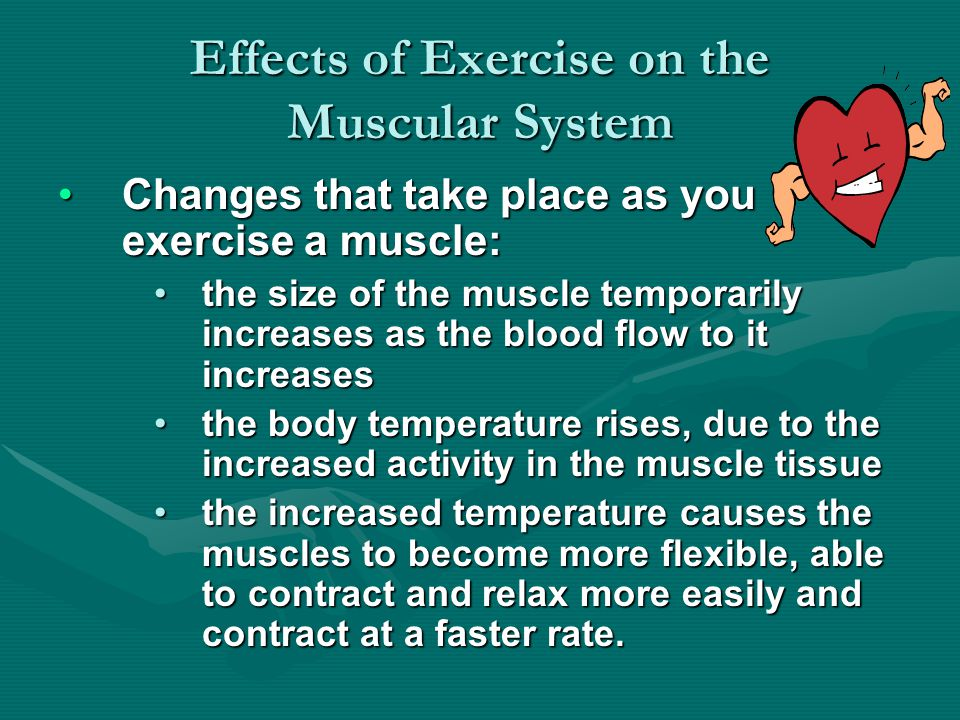 Effects of Exercise on the Muscular System Changes that take place as you exercise a muscle:Changes that take place as you exercise a muscle: the size of the muscle temporarily increases as the blood flow to it increasesthe size of the muscle temporarily increases as the blood flow to it increases the body temperature rises, due to the increased activity in the muscle tissuethe body temperature rises, due to the increased activity in the muscle tissue the increased temperature causes the muscles to become more flexible, able to contract and relax more easily and contract at a faster rate.the increased temperature causes the muscles to become more flexible, able to contract and relax more easily and contract at a faster rate.