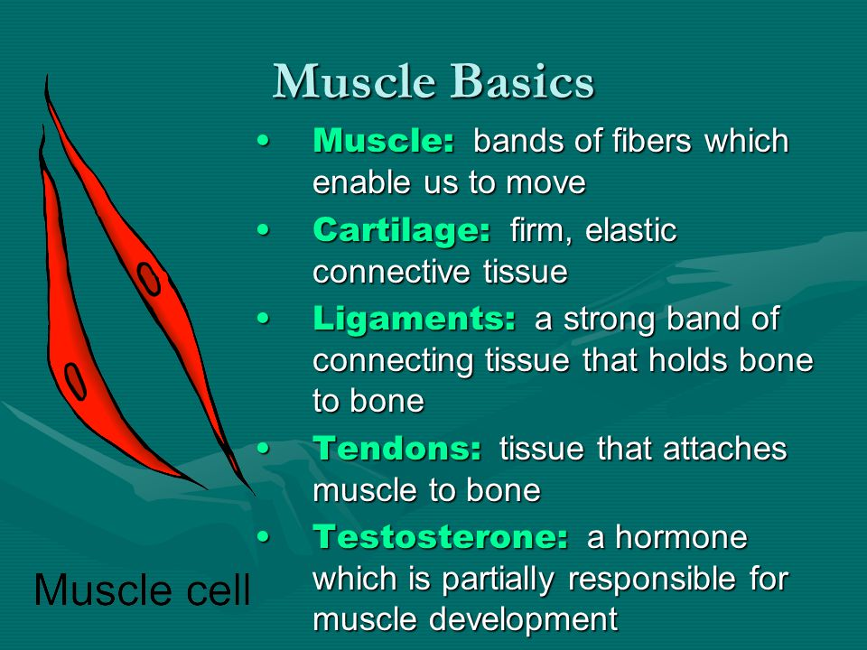 Muscle Basics Muscle: bands of fibers which enable us to moveMuscle: bands of fibers which enable us to move Cartilage: firm, elastic connective tissueCartilage: firm, elastic connective tissue Ligaments: a strong band of connecting tissue that holds bone to boneLigaments: a strong band of connecting tissue that holds bone to bone Tendons: tissue that attaches muscle to boneTendons: tissue that attaches muscle to bone Testosterone: a hormone which is partially responsible for muscle developmentTestosterone: a hormone which is partially responsible for muscle development