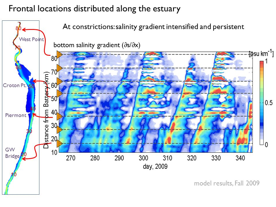 Frontal locations distributed along the estuary bottom salinity gradient (  s/  x) At constrictions: salinity gradient intensified and persistent mo