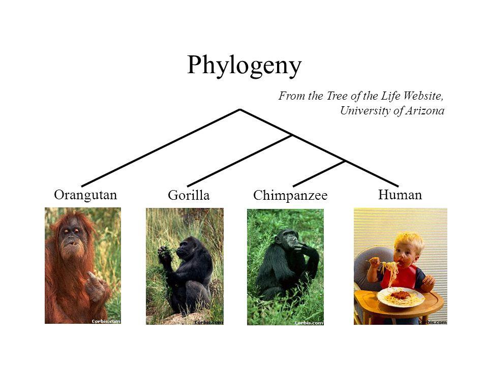 Phylogeny From the Tree of the Life Website, University of Arizona Orangutan GorillaChimpanzee Human