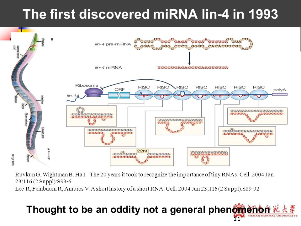 11 Ruvkun G, Wightman B, Ha I. The 20 years it took to recognize the importance of tiny RNAs. Cell. 2004 Jan 23;116 (2 Suppl):S93-6. Lee R, Feinbaum R