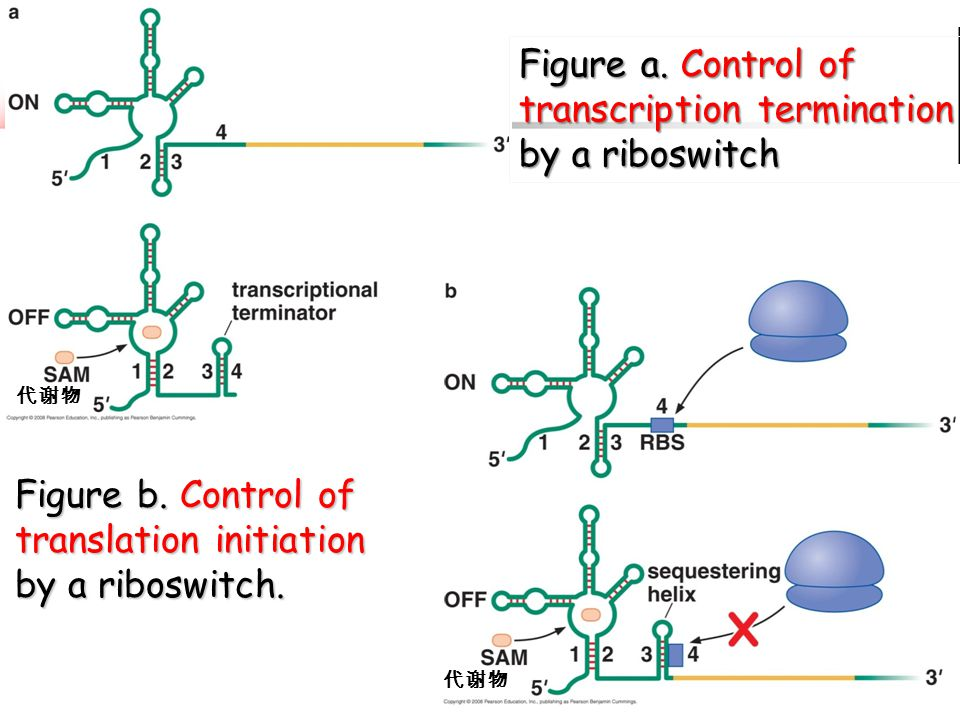 Figure a. Control of transcription termination by a riboswitch 代谢物 Figure b. Control of translation initiation by a riboswitch. 代谢物