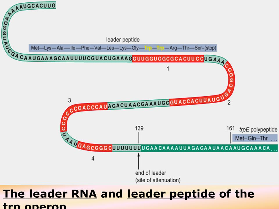 30 The leader RNA and leader peptide of the trp operon